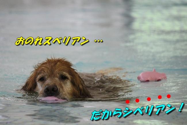 ティアナちゃんハスキー犬やくもちゃんつぶちゃん 102