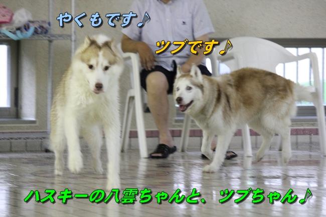 ティアナちゃんハスキー犬やくもちゃんつぶちゃん 104