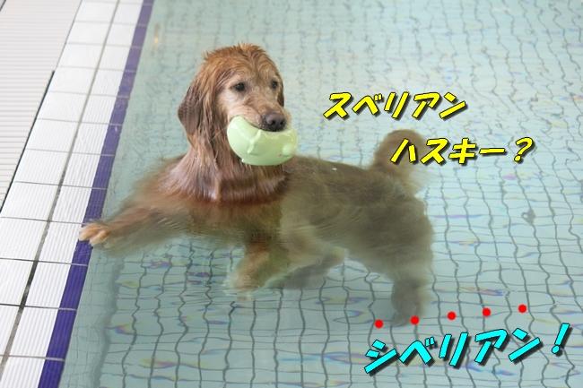 ティアナちゃんハスキー犬やくもちゃんつぶちゃん 485