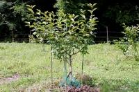 柿の木20160710