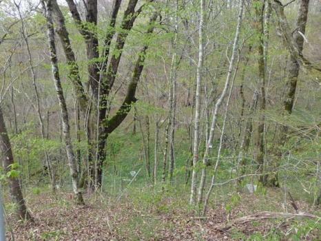 新緑が始まったブナ林