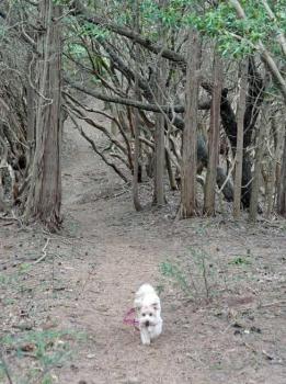 馬酔木の林