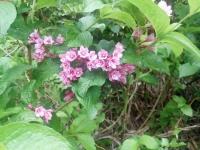 アカヤシオの花