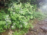 ムシカリの白い花