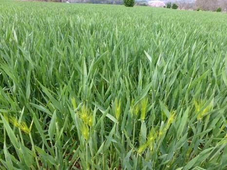 穂が出始めた麦畑