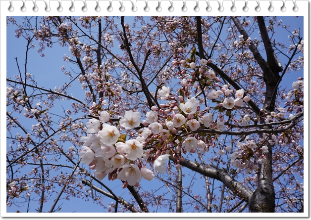 グリーン公園桜①