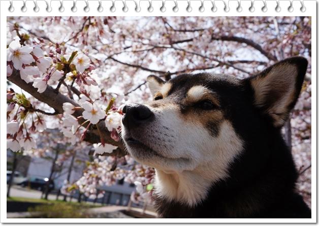 グリーン公園桜②