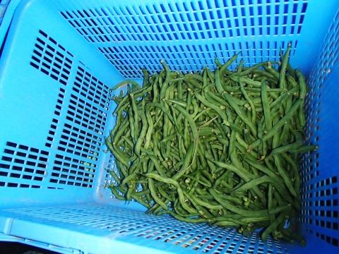 インゲン豆 かご