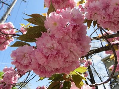 IMG_4441 桜