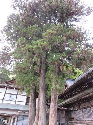IMG_5393 めおと杉