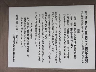 IMG_5409 愛染桂