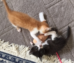 預かり中の仔猫たち