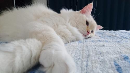 白玉猫_グッタリ4