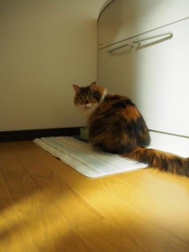 小豆猫‗でぶ1
