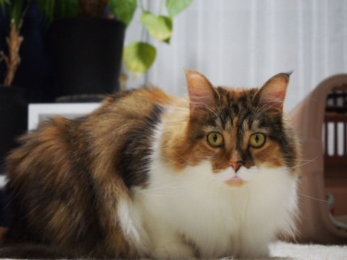 小豆猫‗でぶ3