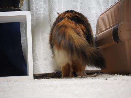 小豆猫‗でぶ2