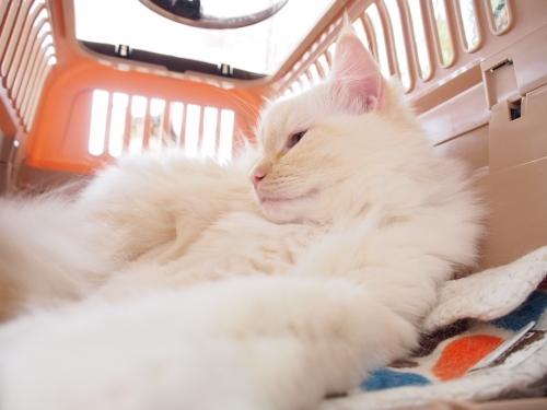 白玉猫‗ベットからでないの?