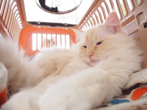 白玉猫‗ベットからでないの?2