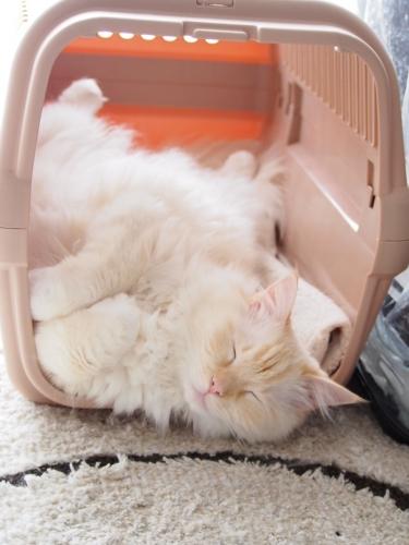 白玉猫‗ベットからでないの?3