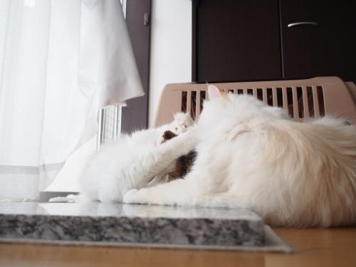 微妙な距離の2猫_2