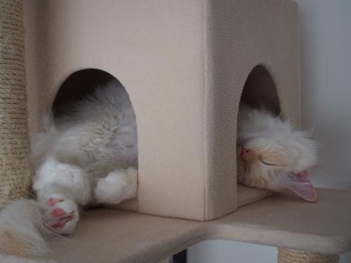 寝顔_白玉猫1
