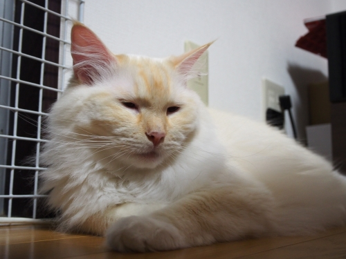 ブサイク白玉猫1