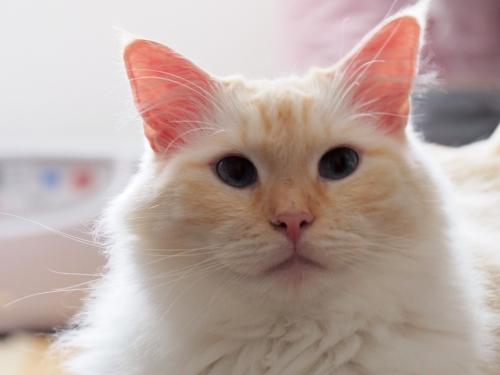 ホンワカ_白玉猫