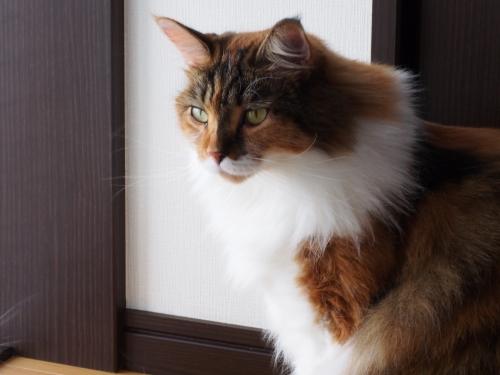 キリリ_小豆猫