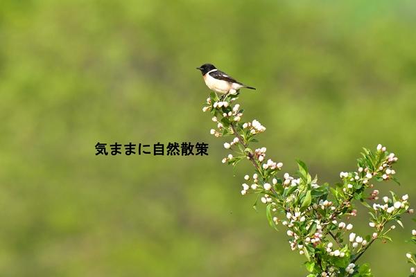 ウトナイ湖6月 (3)