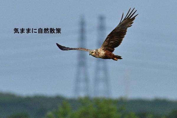 ウトナイ湖6月 (4)