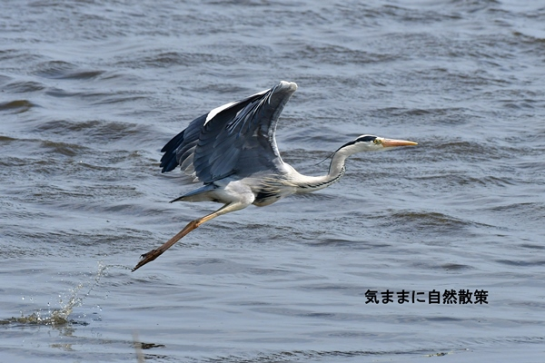 ウトナイ湖6月 (1)