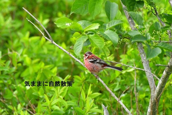 ウトナイ湖6月 (6)