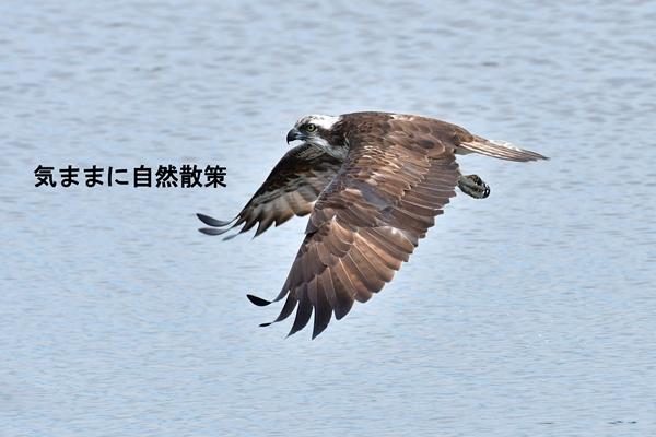 ウトナイ湖6月 (7)