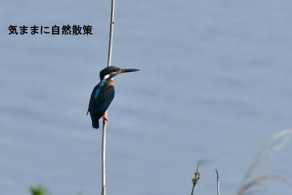 ウトナイ湖6月 (8)