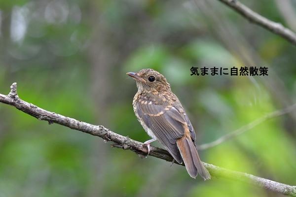 160815幼鳥たち (2)