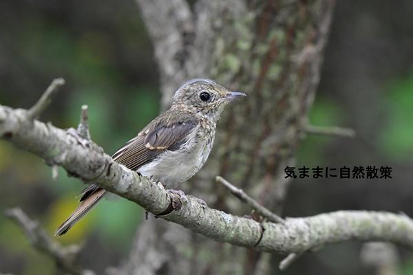 160815幼鳥たち (3)