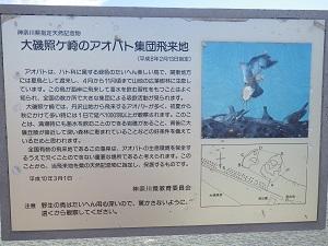 照ケ崎の青鳩