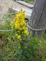 キイロい花