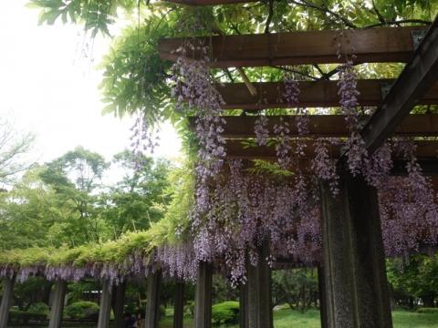 藤の花咲く季節