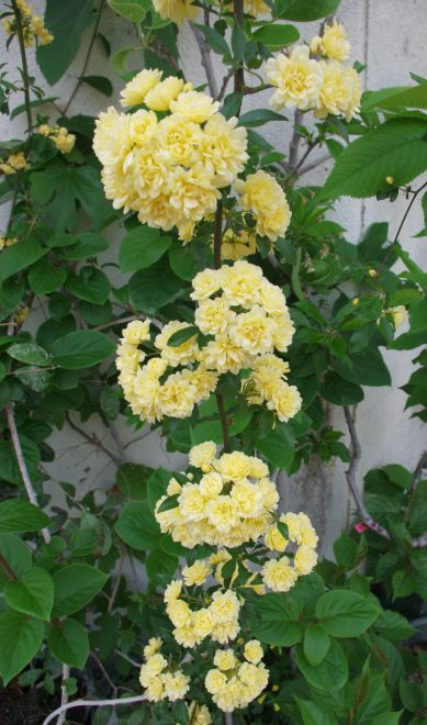 160416-黄モッコウバラ