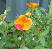 おれんじの花②