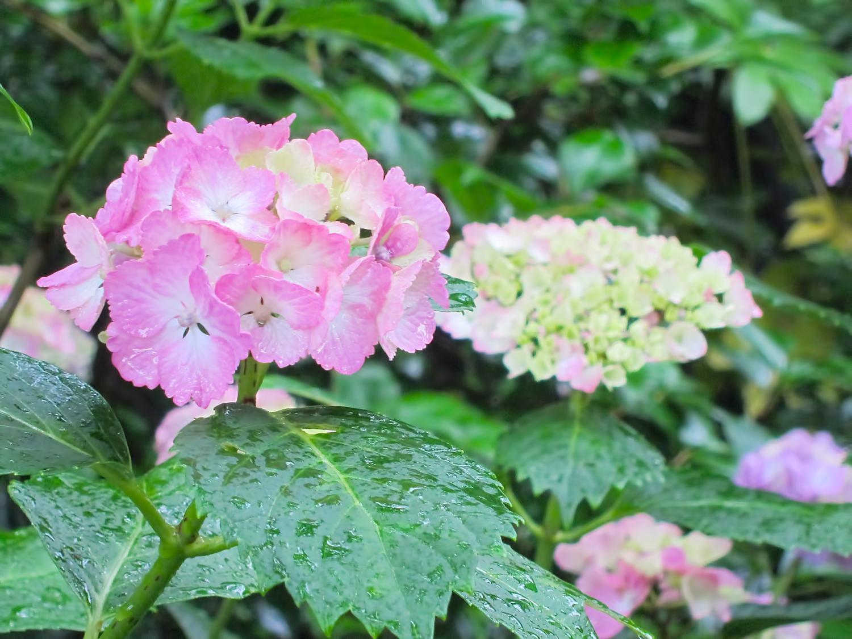 -shared-img-thumb-N724_pinknoajisai_TP_V.jpg