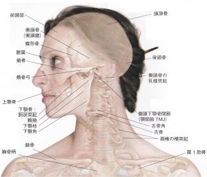 頭蓋側面_側頭骨2