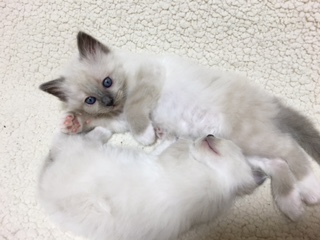 SoulmateDoll Birman幸運を運ぶバーマン子猫
