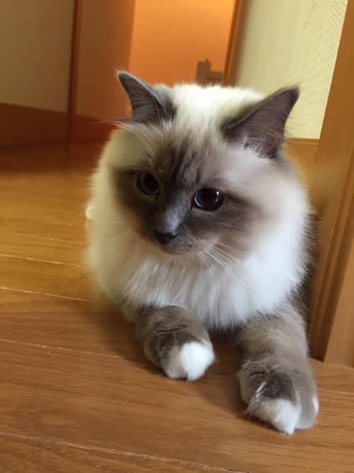 幸運を運ぶ子猫バーマン -ユウビちゃん-