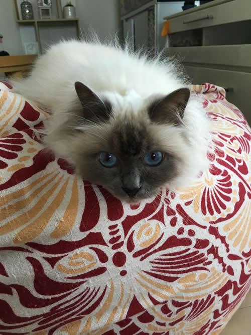 幸運を運ぶバーマン子猫 - メロウちゃん -