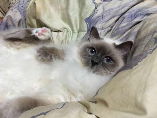 幸運を運ぶバーマン子猫 - みかんちゃん&マシューくん -