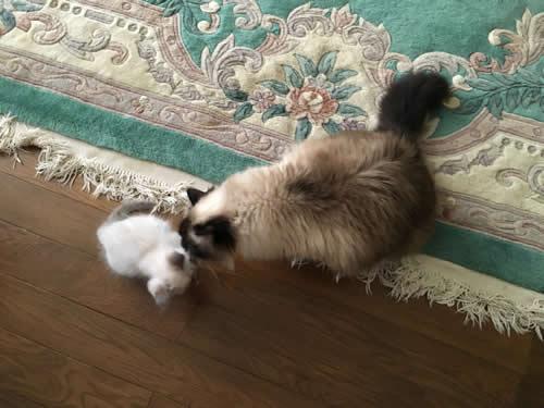 幸運を運ぶ猫☆バーマン SoulmateDoll - デューク -