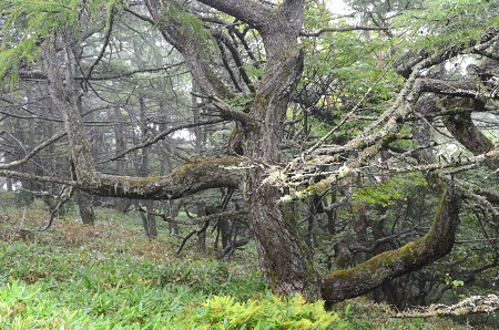 065老木の森の主