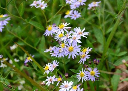 088ノコン菊
